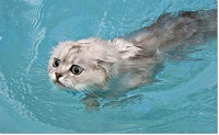 swimming_cats_are_640_10